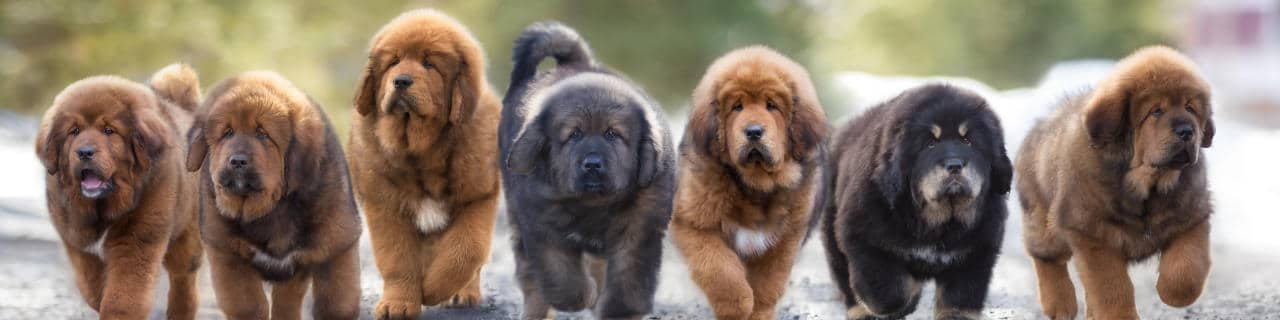 Sieben Hundewelpen laufen eine Straße entlang
