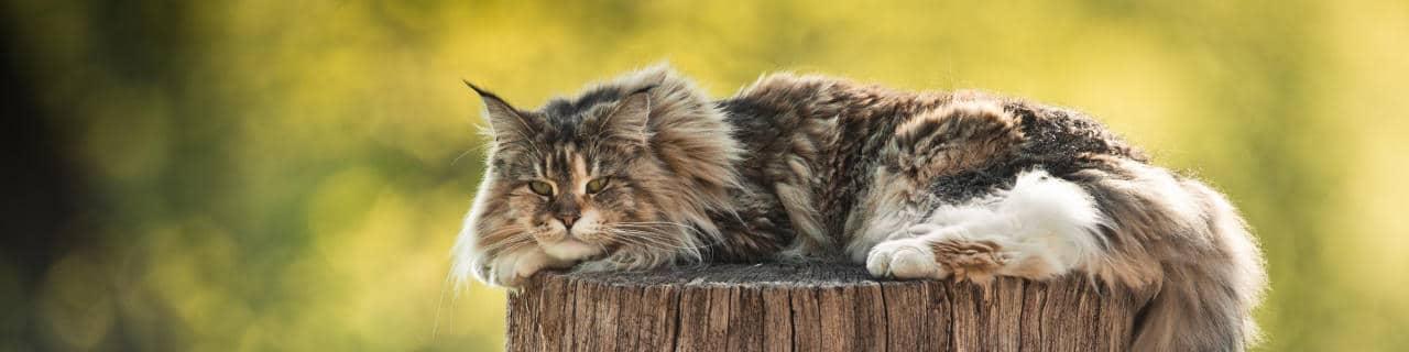 Maine Coon Katze auf einem Pfahl