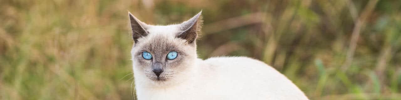 Siamkatze mit blauen Augen